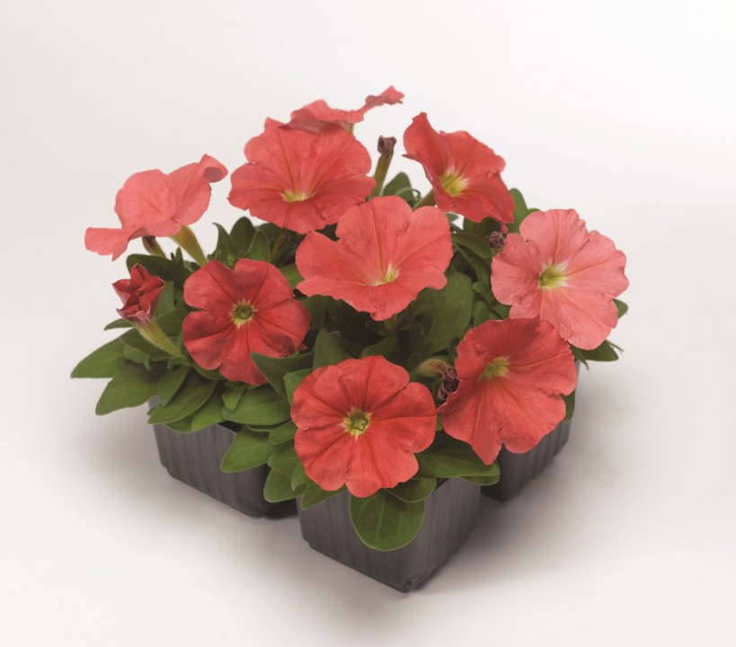 Petunia 'Damask Salmon' from Syngenta/Goldsmith Seeds