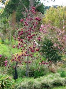 Magnolia 'Genie' from PlantHaven International