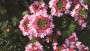 Verbena 'Hurricane Hot Pink' from Westflowers