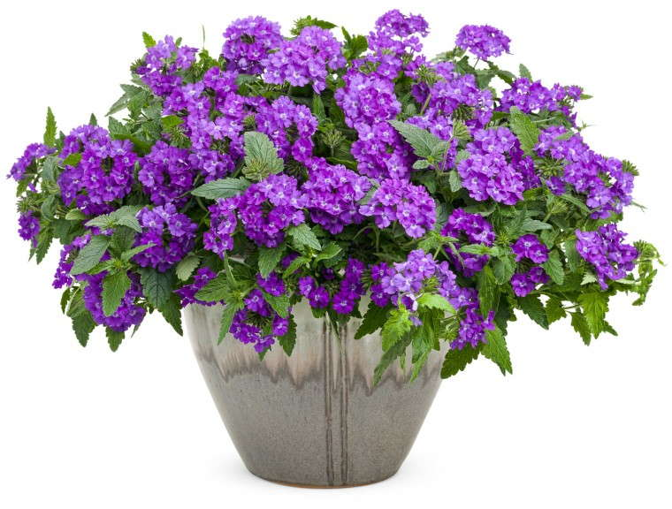 Verbena 'Superbena Violet Ice' from Proven Winners