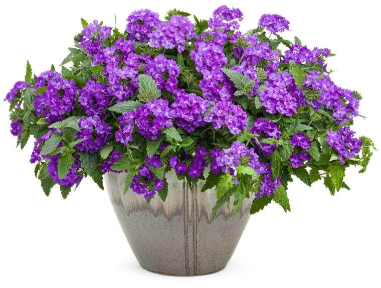 Verbena 'Superbena Violet Ice' from Proven Winners