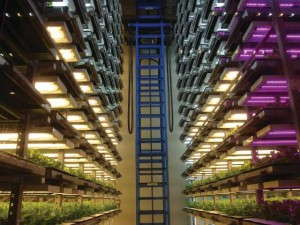 Figure 1. An experimental plant factory at Osaka Prefecture University in Japan, which is also used as a prototype for commercial growers, utilizes LEDs and fluorescent tubes to produce lettuce.