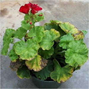 Geranium at low pH