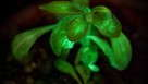 Nicotiana 'Starlight Avatar' from Bioglow is the world's first light-producing plant.
