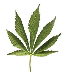 marijuana_web