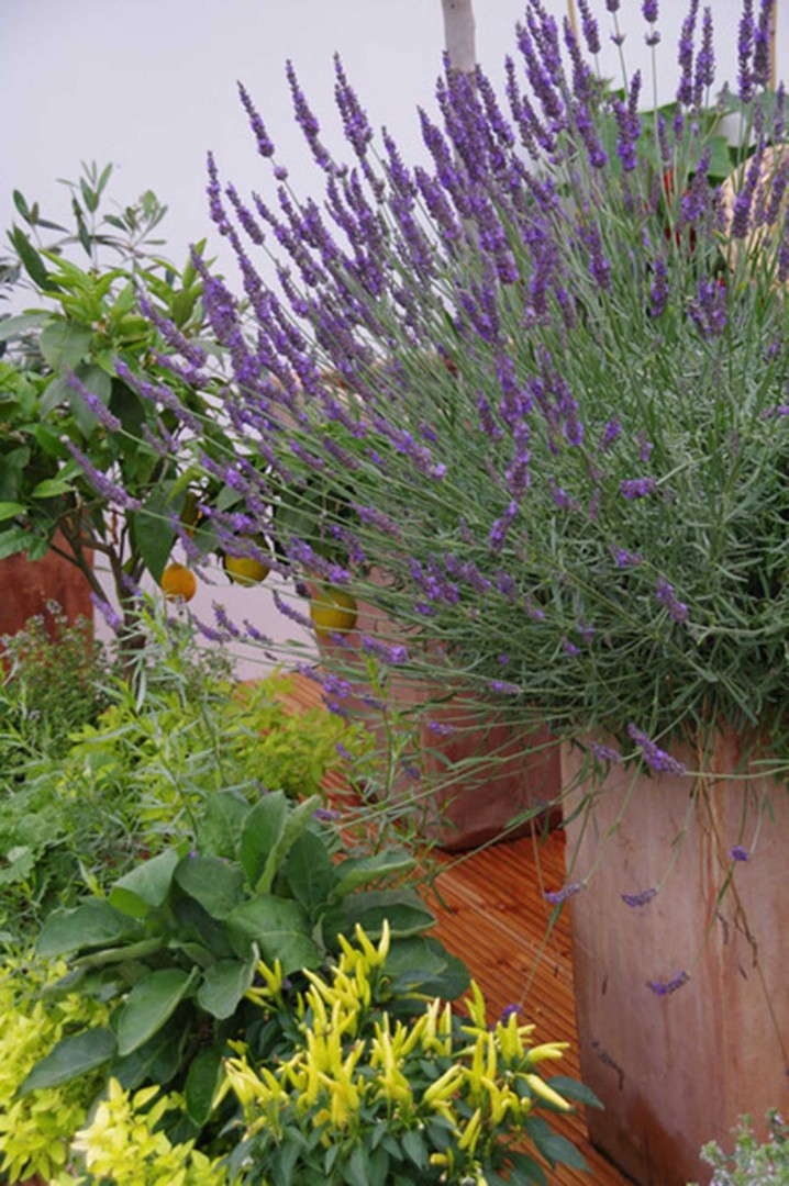 Lavender 'Phenomenal' from Peace Tree Farm and Cultivaris