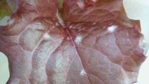 Lettuce Red, Powdery Mildew Disease Griffin Greenhouse Supplies
