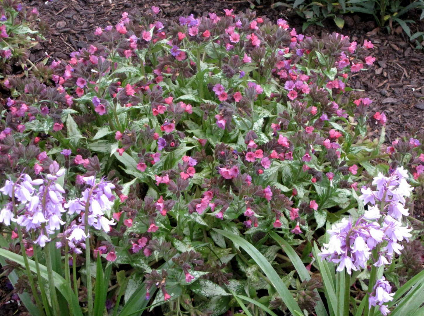 Pulmonaria Silver Bouquet from Terra Nova Nurseries