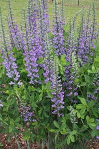 Baptisia 'Blue Towers' from Plant Delights Nursery