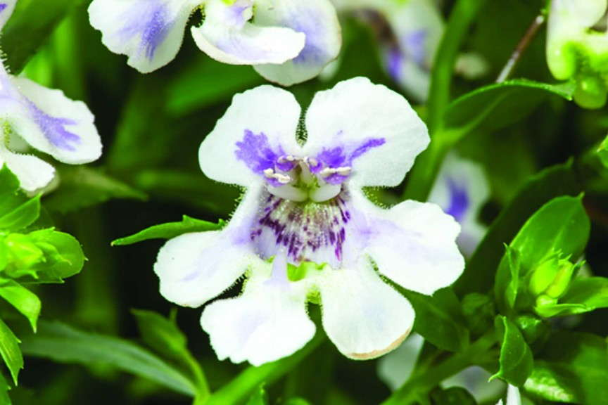 Angelonia 'Actors White Blue Splash' from Green Fuse