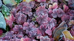 Heucherella 'Buttered Rum' from Terra Nova Nurseries