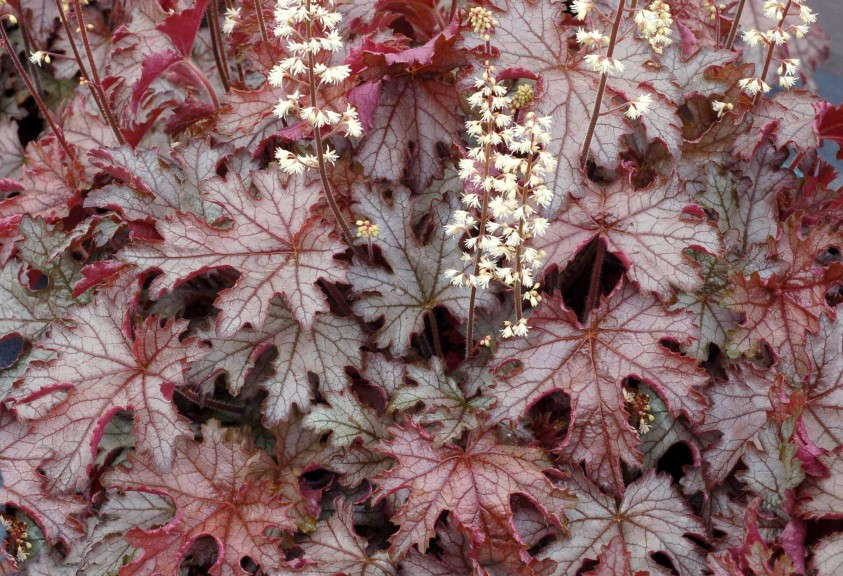 Heucherella 'Cracked Ice' from Terra Nova