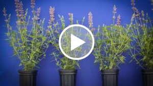 PGRs For Summer Perennials