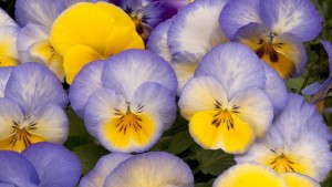 Pansy 'Cool Wave Blueberry Swirl'