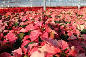 A recurring problem with spider mites on poinsettia crops lead D.S. Cole Growers to use predators, including Eretmocerus eremicus and Encarsia formosa. The change led to being able to eliminate pesticide applications on poinsettias and a major chemical cost savings.