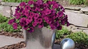 Petunia 'Success Violet' from Benary