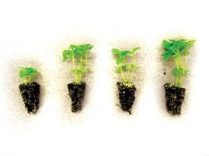 Basil seedlings, Control and 3 organic fertilizer treatments