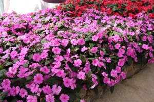 Bounce impatiens from Selecta in a bed planting