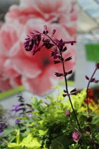 Love and Wishes salvia from Sunset WesternGarden Collection