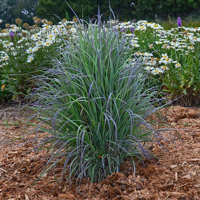 Outstanding ornamental grasses for landscapes and for Tall grasses for pots