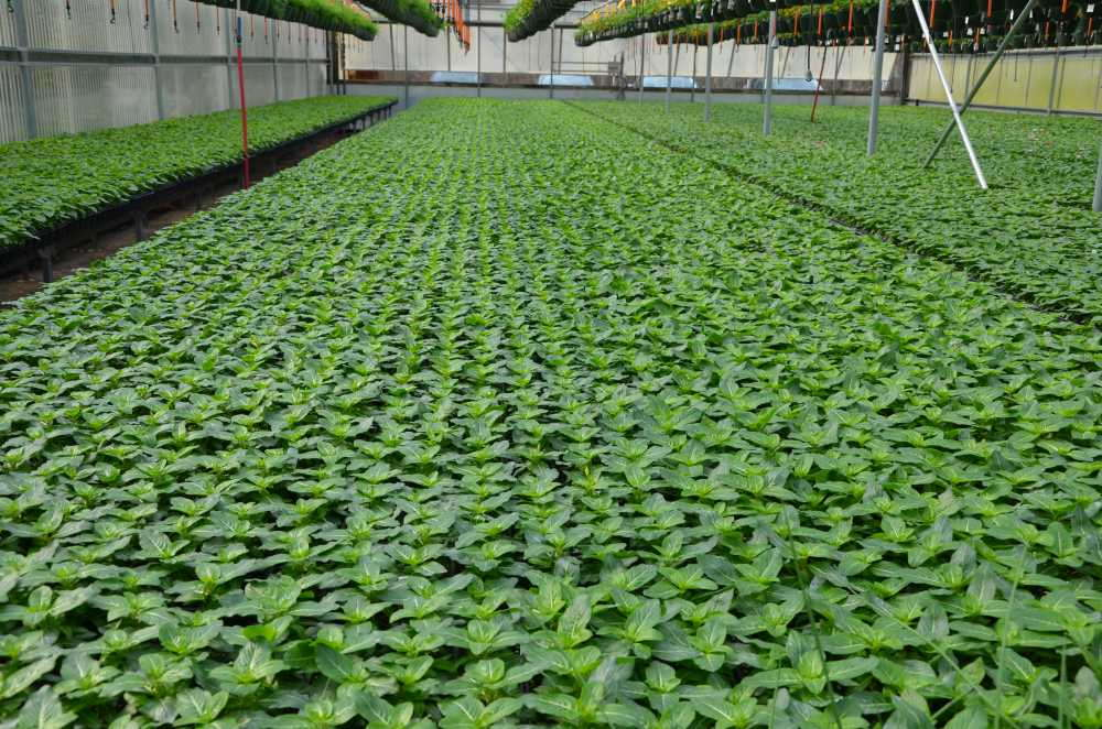Greenhouse crop production of marigolds