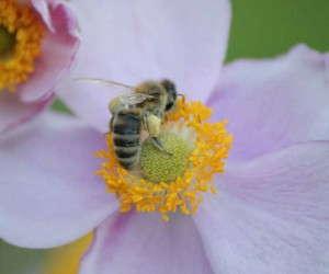 honey bee2