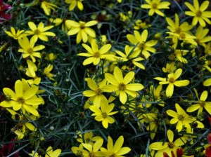 Coreopsis 'Electric Avenue' will be promoted as the 'Mayo Clinic Flower of Hope.'