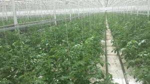 GardenHouse Farm tomatoes