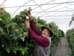 Howard Prussack greenhouse raspberries, High Meadows Farm