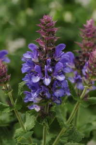 Salvia 'Blue Marvel' from Darwin Perennials