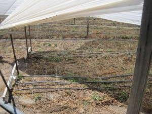 Photo 1, Drip irrigation resource management, Mike Mellano, Mellano & Co.