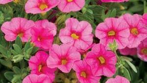 Superbells® Pink Calibrachoa from Proven Winners