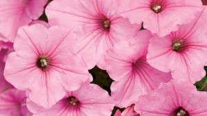 Supertunia® Vista Bubblegum™ Petunia from Proven Winners