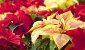 Poinsettias - UNH