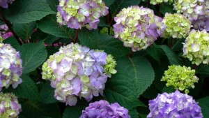 Hydrangea 'Endless Summer BloomStruck' from Bailey Nurseries