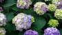 Hydrangea 'Endless Summer BloomStruck' from Bailey Nurseries