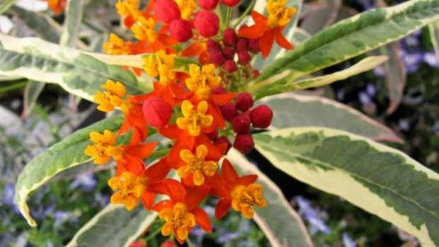 Asclepias-Monarch-Promise