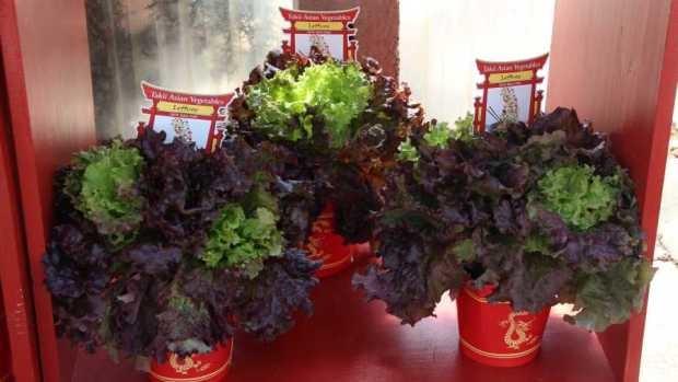 Asian-Vegetables-Lettue-Trio-American-Takii