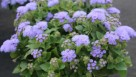 CAST2015_Floranova_Vegetalis_Ageratum Cloud Nine Blue