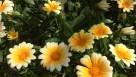 Gazania hybrid 'Amber Ice' (Cultivaris)