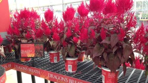 Celosia dragon's breath_Sakata