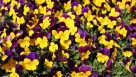 Viola 'Yellow Purple Wing'