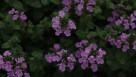 westhoff_lilac falls