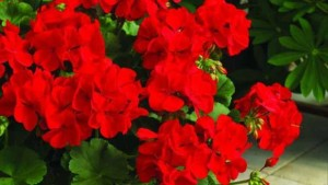 calliope dark red geranium