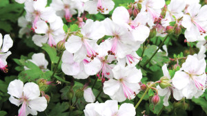 Feature image The 2015 Perennial Plant Of The Year, Geranium x cantabrigiense 'Biokovo.'