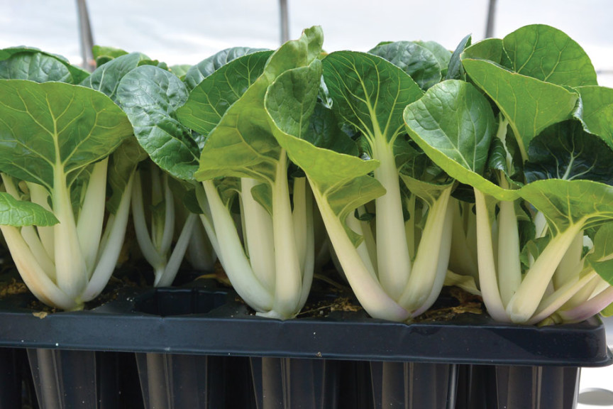 The Intrigue Of Edible Petiole Crops For Hydroponic