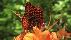 Great-spangledFritillary