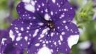 Petunia-cultivarsSelecta4CMYK