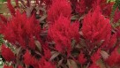 Dragon's-Breath-Celosia_featured