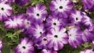 Petunia 'Sanguna Radiant Blue' (Syngenta Flowers)
